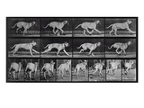 Running Dog, Plate 707 from 'Animal Locomotion', 1887 (B/W Photo) Giclee Print by Eadweard Muybridge