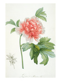 Peony, 1799 (Colour Stipple Print) Giclee Print by Pierre Joseph Redoute