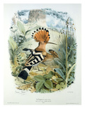 Hoopoe (Upupa Epops) (Colour Litho) Giclee Print by Edouard Travies