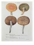 Hypodendrums Fagi and Queris, Plate 138 from 'Iconographie Des Champignons De J.J. Paulet' Giclee Print by  Fossier