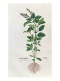 Basil, a Botanical Plate from the 'Herbarium' by Leonhart Fuchs (1501-66), Published in Basel, 1543 Giclee Print by  German