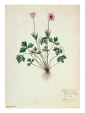 Fol.1275 Geranium (W/C on Paper) Premium Giclee Print by  French
