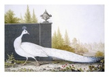 A White Peahen (Coloured Engraving) Giclee Print by  English