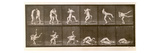 Two Men Wrestling, Plate 347 from 'Animal Locomotion', 1887 (B/W Photo) Giclee Print by Eadweard Muybridge