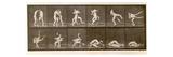 Two Men Wrestling, Plate 347 from 'Animal Locomotion', 1887 (B/W Photo) Giclee Print by Eadweard Muybridge