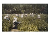 Women Picking Tea, with Male Overseer (Hand Coloured Photo) Giclee Print by  Japanese Photographer