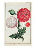 Papaver Somniferum and Papaver Rheas Engraved by German School 18th Century (Engraving) Giclee Print by Besler Basilius