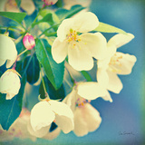 Natures Apple Blossom Posters by Sue Schlabach
