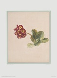 Primrose Collectable Print by Jakob Huysum