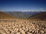 Sheep Otago New Zealand Photographic Print by  Panoramic Images