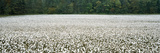 Cotton Crop Madison County TN Photographic Print by Panoramic Images