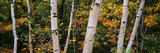 Birch Trees in a Forest, New Hampshire, USA Photographic Print by  Panoramic Images