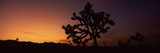 Silhouette of a Joshua Tree (Yucca Brevifolia) at Dusk, Mojave Desert, California, USA Photographic Print by  Panoramic Images