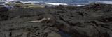 Marine Iguana (Amblyrhynchus Cristatus) on Volcanic Rock, Isabela Island, Galapagos Islands Photographic Print by  Panoramic Images
