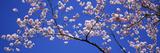 Cherry Blossoms Washington DC USA Reproduction photographique par  Panoramic Images