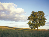 Tree in a Field, Vermont, USA Photographic Print by  Panoramic Images