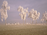 Birch Trees W\ Rime Switzerland Photographic Print by  Panoramic Images