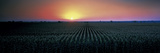 Corn Field at Sunrise Sacramento Co CA USA Photographic Print by  Panoramic Images