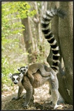 Ring Tailed Lemur Posters