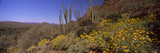 Organ Pipe Cactus (Stenocereus Thurberi) on a Landscape, Organ Pipe Cactus National Monument, Ar... Photographic Print by  Panoramic Images
