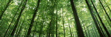 Low Angle View of Beech Trees, Baden-Wurttemberg, Germany Photographic Print by  Panoramic Images