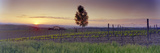 Tree in a Vineyard, Val D'Orcia, Siena Province, Tuscany, Italy Photographic Print by  Panoramic Images