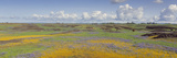 Goldfield Flowers in a Field, Table Mountain, Sierra Foothills, California, USA Photographic Print by  Panoramic Images