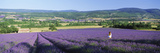Woman in a Field of Lavender Near Villars in Provence, France Photographic Print by  Panoramic Images