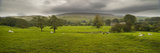 Cattle in a Meadow, Pendle Hill, Clitheroe, Lancashire, England Photographic Print by  Panoramic Images