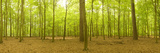 Beech and Scots Pine Trees in a Forest, Thetford Forest, Norfolk, England Photographic Print by  Panoramic Images