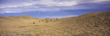 Herd of Bison Grazing in a Field, Waterton Lakes National Park, Alberta, Canada Photographic Print by  Panoramic Images