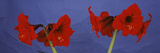 Close-Up of Amaryllis Flowers Photographic Print by  Panoramic Images