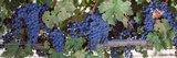 USA, California, Napa Valley, Grapes Photographic Print by  Panoramic Images
