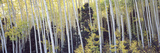 Aspen Trees in a Forest, Aspen, Pitkin County, Colorado, USA Photographic Print by  Panoramic Images