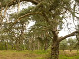 Scots Pines (Pinus Sylvestris) Trees in a Forest, East Wretham Heath, Breckland, Norfolk, England Photographic Print by  Panoramic Images
