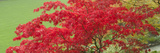Low Angle View of a Japanese Maple Tree, Butchart Gardens, Victoria, Vancouver Island, British C... Photographic Print by  Panoramic Images