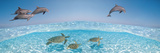 Bottlenose Dolphin Jumping While Turtles Swimming under Water Papier Photo par  Panoramic Images