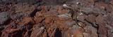 Marine Iguana (Amblyrhynchus Cristatus) on Volcanic Rock, Isabela Island, Galapagos Islands, Ecu... Photographic Print by  Panoramic Images
