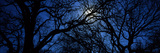 Silhouette of Oak Trees, Texas, USA Photographic Print by  Panoramic Images