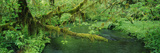 Stream Flowing Through a Rainforest, Hoh Rainforest, Olympic National Park, Washington State, USA Photographic Print by  Panoramic Images