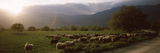Flock of Sheep Grazing in a Field, Feneos, Corinthia, Peloponnese, Greece Fotografie-Druck von Panoramic Images