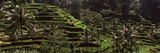 Rice Paddies in a Field, Ubud, Bali, Indonesia Photographic Print by  Panoramic Images