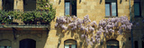 Wisteria Vine in Bloom, Orvieto, Umbria, Italy Photographic Print by  Panoramic Images