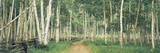 Aspen Trees in a Forest, Western Slope, Telluride, San Miguel County, Colorado, USA Photographic Print by  Panoramic Images