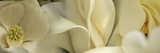 Magnolia Flowers Photographic Print by  Panoramic Images