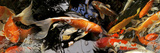 Koi Carp Photographic Print by  Panoramic Images