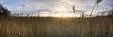 Reeds in a Field at Sunset, Holkham, Norfolk, England Photographic Print by  Panoramic Images