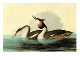 Great Crested Grebe Prints by John James Audubon