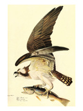 Osprey Print by John James Audubon