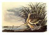 Long-Billed Curlew Posters by John James Audubon